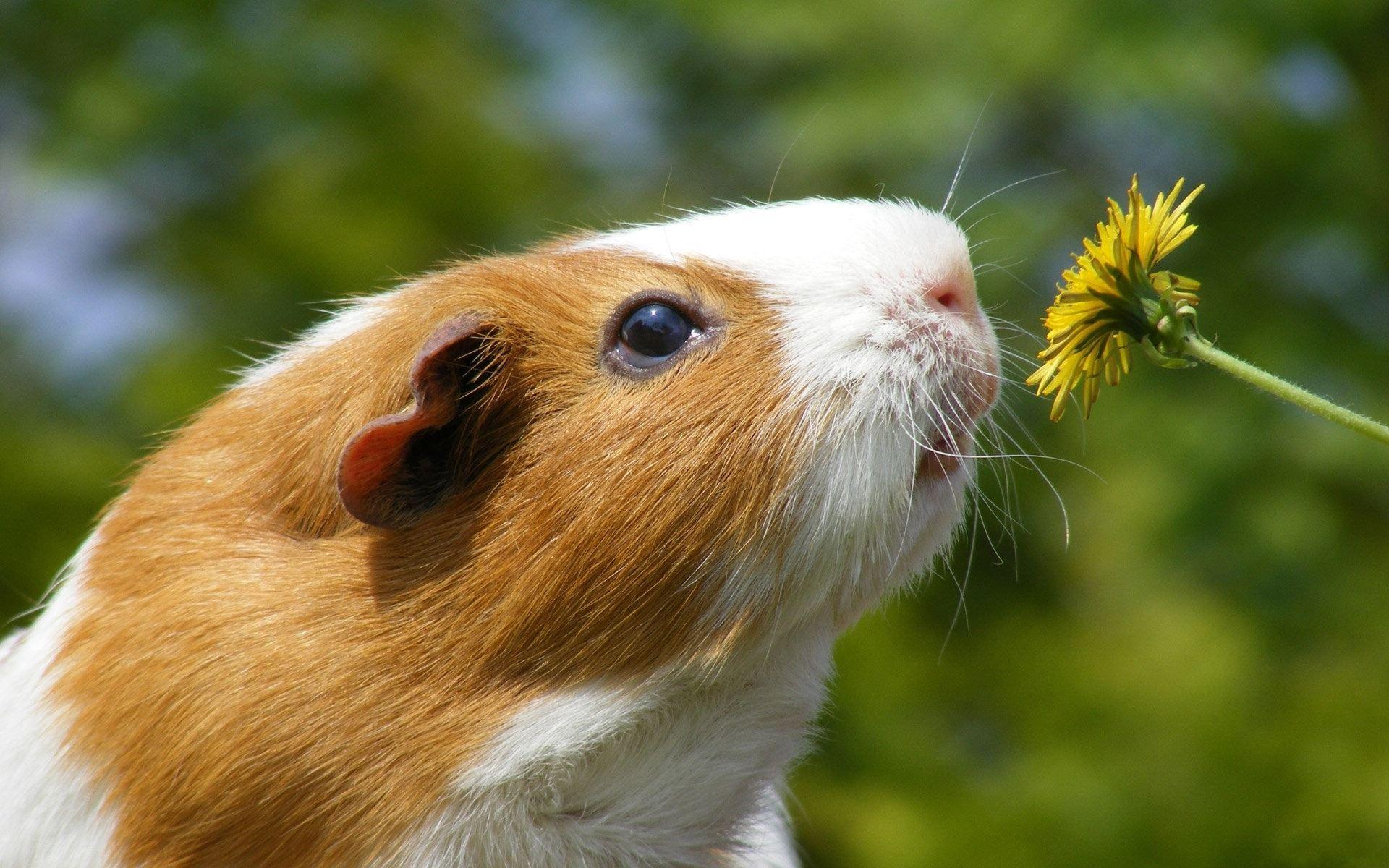 荷兰猪(宠物)